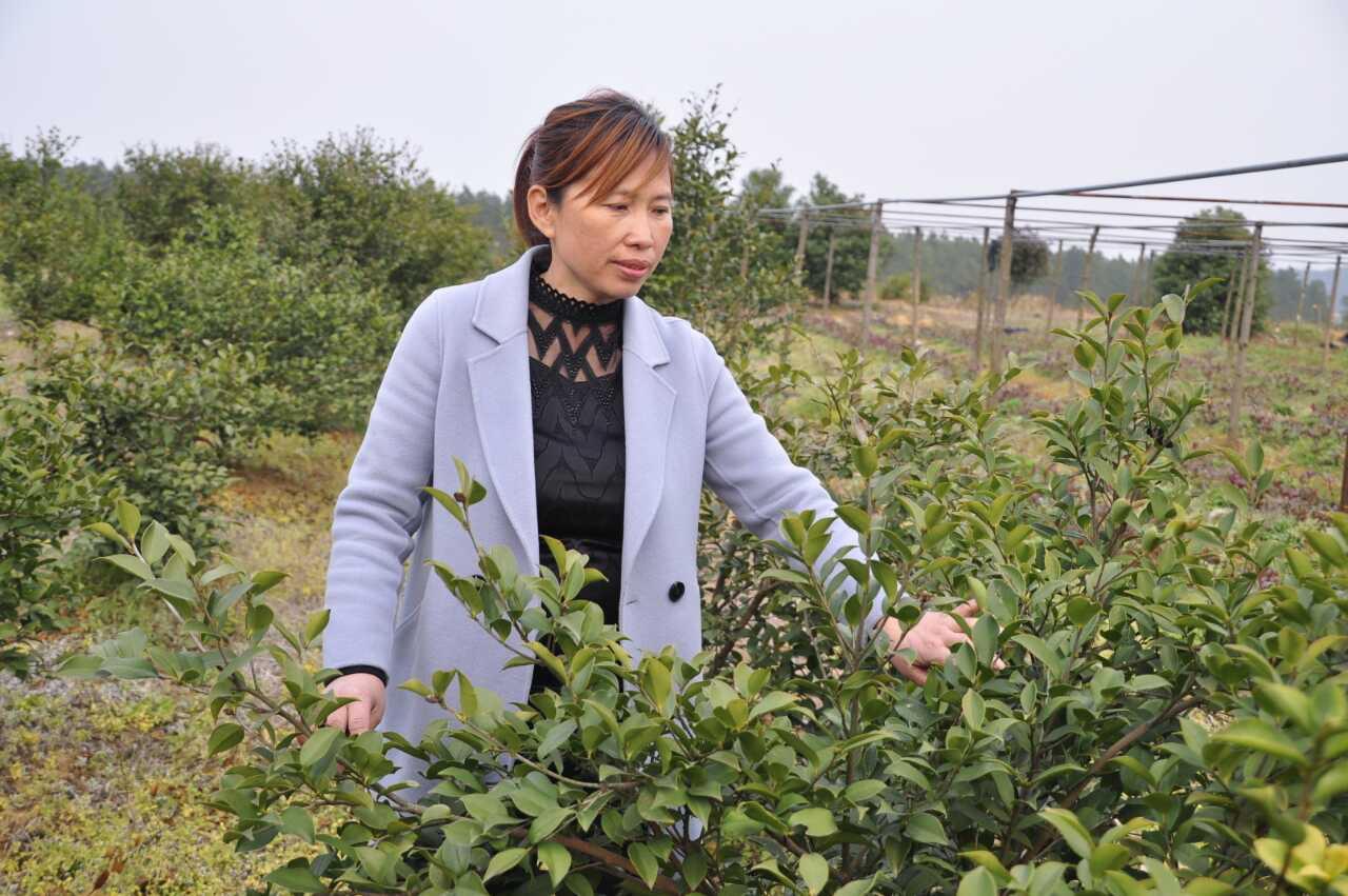 余春枝在自已珍爱的山茶树丛中检察苗木长势.jpg